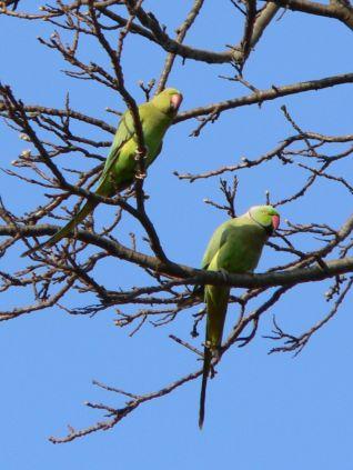 Psittacula_krameri_-Kew_Gardens_-London-6