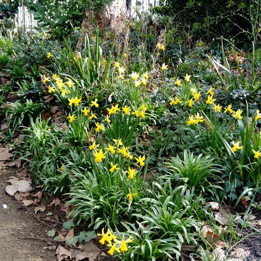 daffs in Gordon Sq