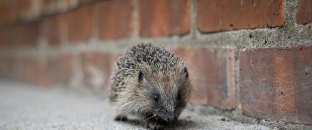 hedgehog_tom_marshall_0