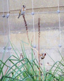 Goldfinch pair feeding in MCG 26.3.12