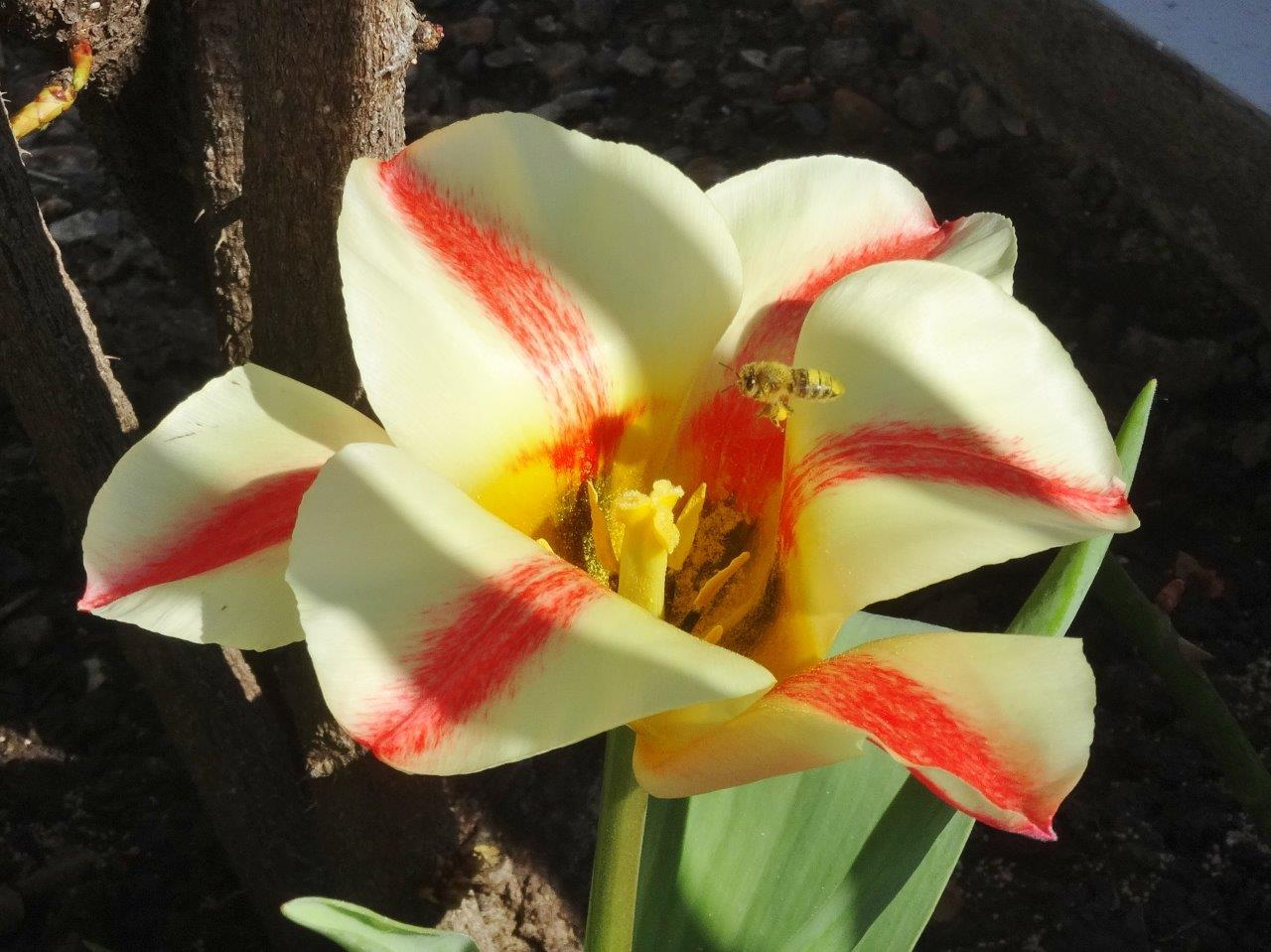 Bee visiting a 'quebec' tulip